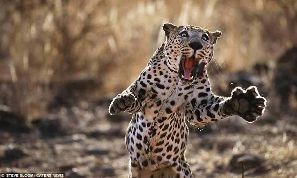 Leopard pouncing